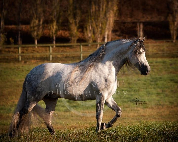 """Marnie Hoffman- Facebook  """"Hummer"""" - Warlander stallion   April Visel Photography  www.viselphotography.com"""