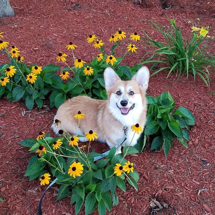 """""""Flowers always make people better, happier, and... - Knives the Corgi"""