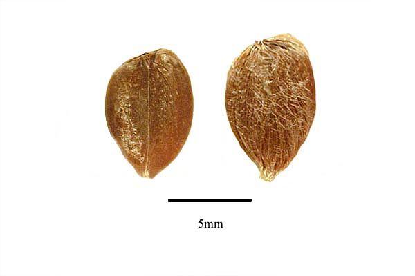 http://www.ars-grin.gov/npgs/images/sbml/Barleria_prionitis_seeds.jpg