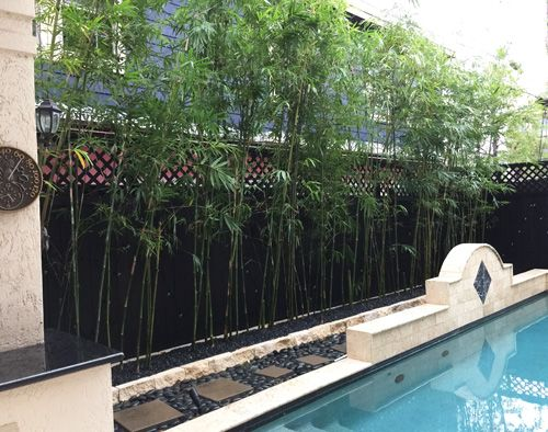 Houston Bamboo Plant Bamboo For Privacy By Swimming Pool