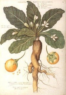 Toxicity from mandrake berries used as a sexual aid