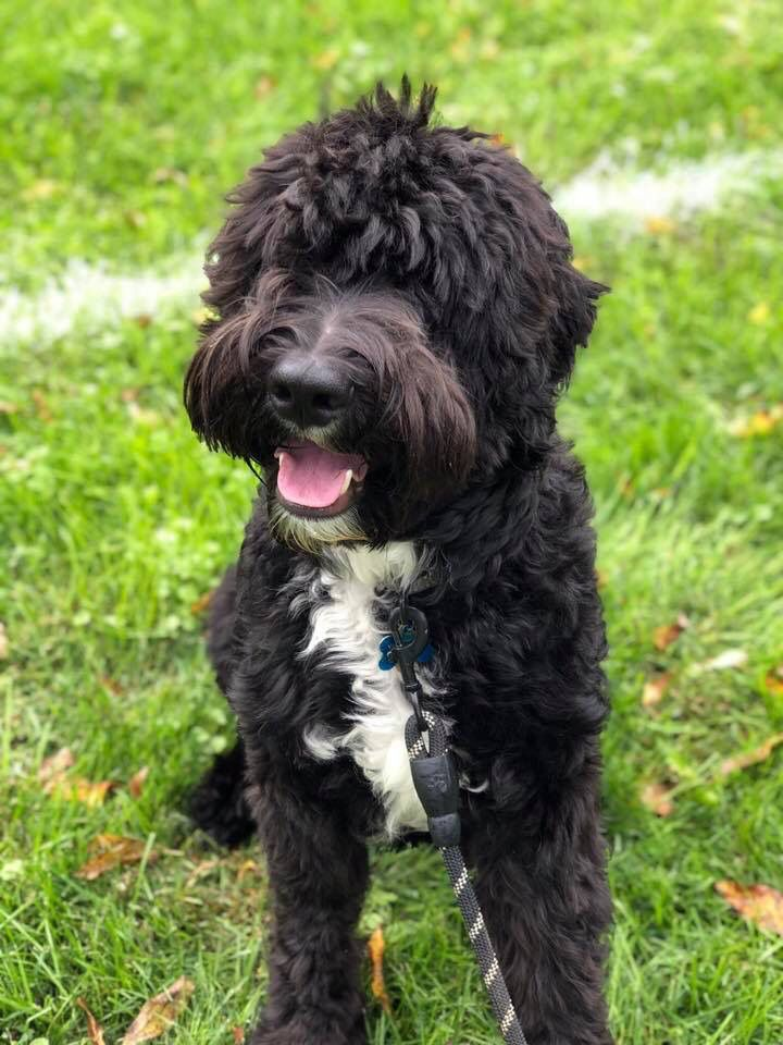 Photo from wwwCrockettDoodlescom Doodles Sheepadoodle