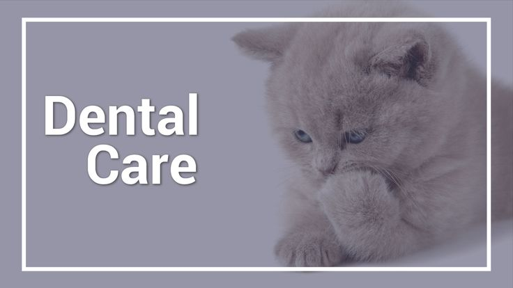 Dr. Greenway shows us how to properly brush cat's teeth. This video also discusses dental cleaning under anaesthetic and symptoms of tooth decay. #cats #catsteeth #HCFP