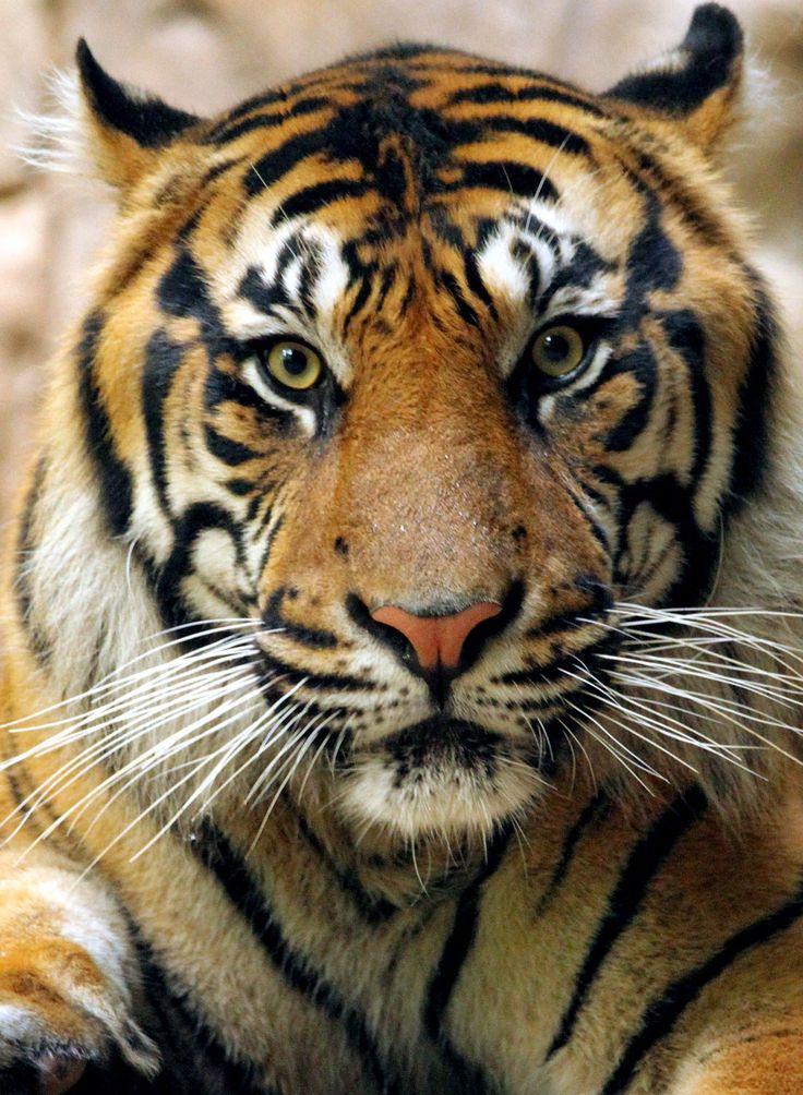 Five Sumatran tigers you must get to know Dallas ZooHoo
