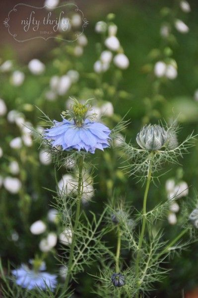 {love-in-a-mist}