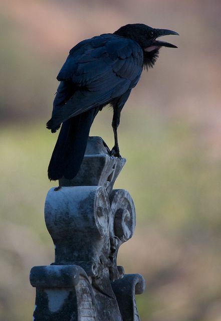 Crow in a cemetery, in Townsville, Australia, by Jurgen Otto.