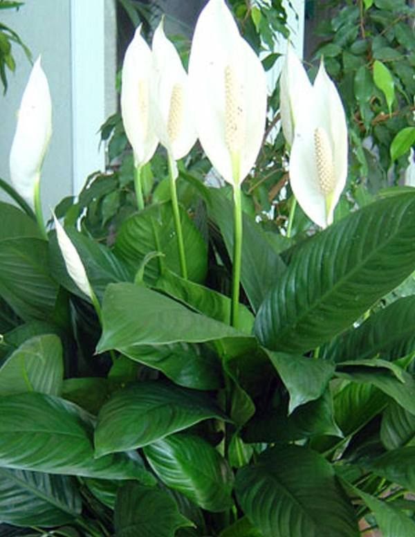 We Are Unable To Ship Live Plants Ca Hi Ak Az Highlights The Next Thing Superb Bloomer Dark Green Foliage Spathiphyllum Mojo Tm Is Very A Fast