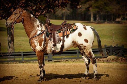 L'Appaloosa - Un Appaloosa avec un harnachement western