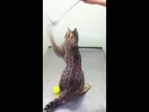 "F3 Savannah Cat  ""Simba"" - WildTafari.com #wildtafari #savannahcat #savannahcatvideos #exoticcats #cats"