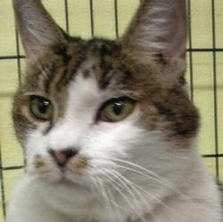Eva is an adoptable Tabby - Brown Cat in Oakley, CA. Eva is a smart, confident lover. She is in the middle of a bladder infection and has meds for it. She also may have hyperthyroidism. She needs a v...