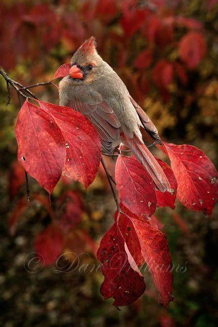 autumn leaf leaves cardinal female bird wildlife birdwatching