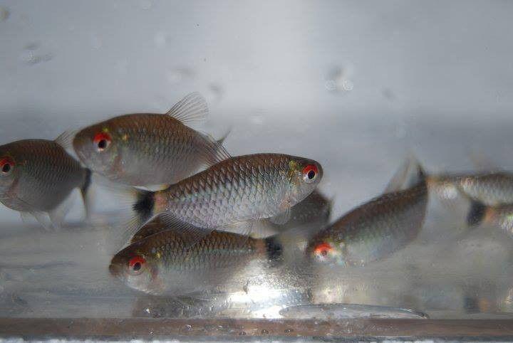 8 Red Eye Tetra Moenkhausia Sanctaefilomenae Live Tropical Community Fish Tetra Fish Fish Tetra