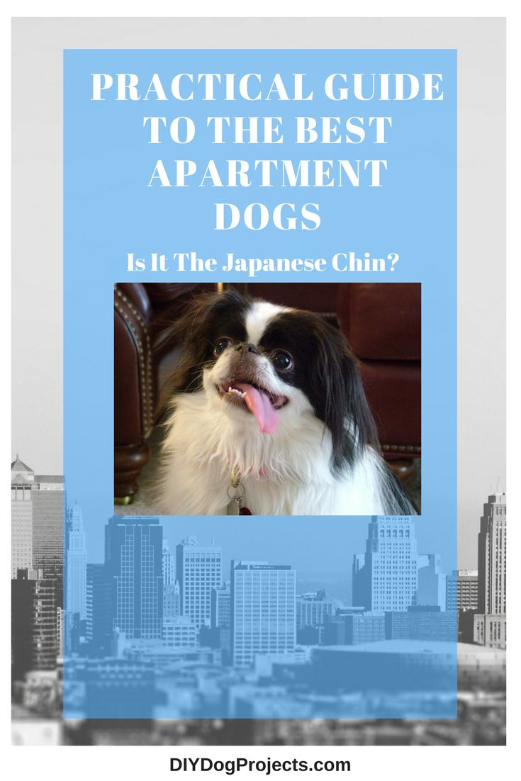 DIY Dog Projects - Love the aristocratic oriental look of this little dog bred for Japanese royalty! Check out the Japanese Chin.