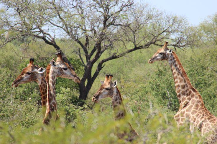 Giraffes overlooking the bush | Zandspruit Estate | Hoedspruit | South Africa
