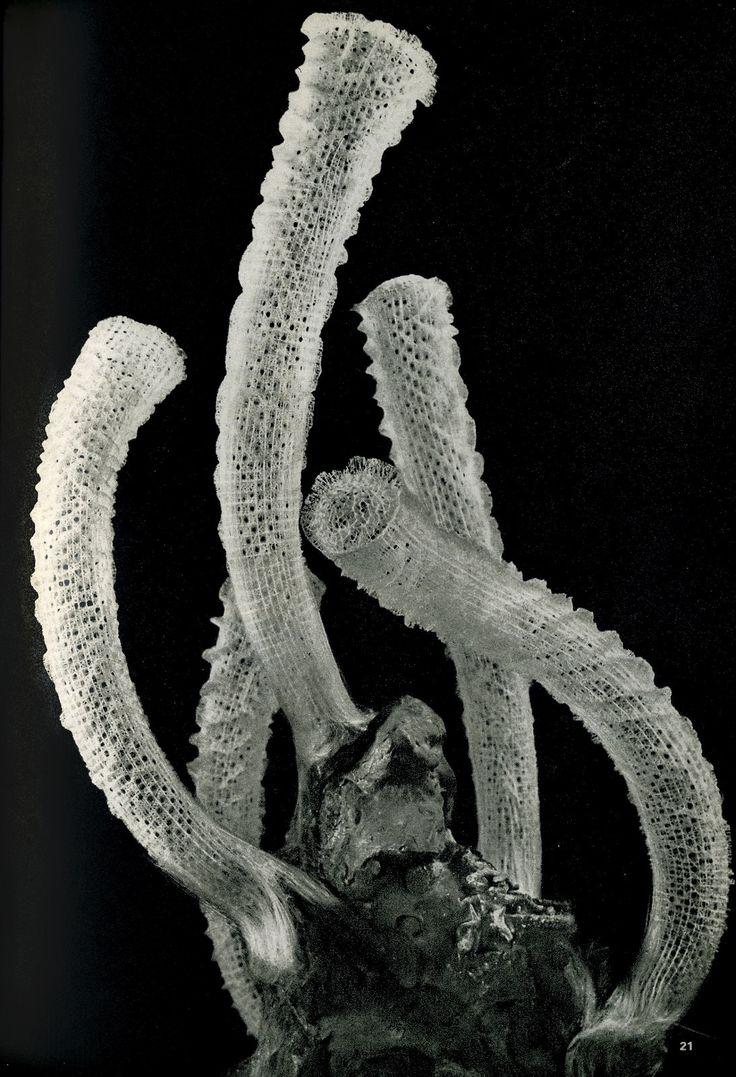 Unknown Photographer, Euplectella aspergillum (Venus's Flower Basket) - glass sponge!