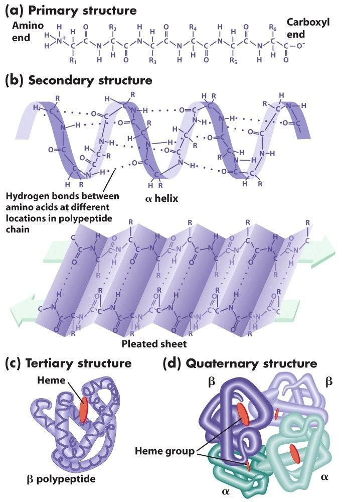 The PRIMARY structure of the protein is quite straight forward but the SECONDARY may need a bit more elaborating on that is, features such as the alpha helix and beta pleated sheet. Description from biochemninja.wordpress.com. I searched for this on bing.com/images