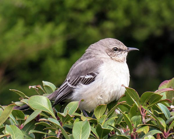 Mockingbird Poster by Leslie Montgomery.  All posters are professionally printed, packaged, and shipped within 3 - 4 business days. Choose from multiple sizes and hundreds of frame and mat options.