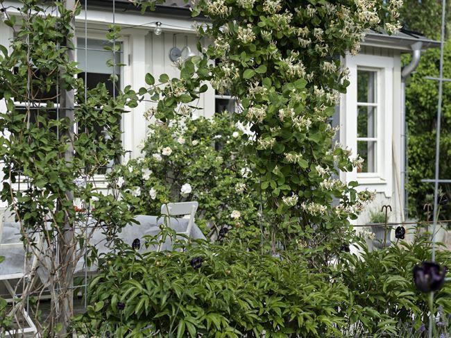Kaprifolen på bergolan har samplanterats med pion Shirley Tempel, tulpan Queen of Night, lavendel och vit buskros Blanc Double de Coubert.