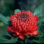 Waratah, the flower of New South Wales
