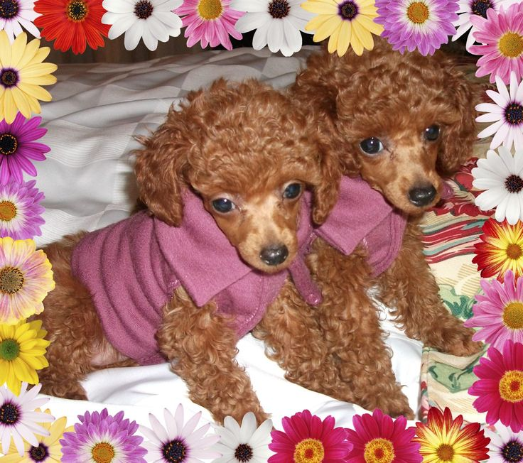 Check Out Https Www Beautifulpoodles Com Canadian Breeder Of
