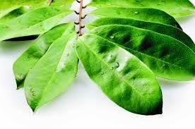 La poudre defeuille de corossolier, arbuste originaire de l'Amazonie, est connue traditionnellement au Sénégal pour ses effets sédatifs et son pouvoir de lutter contre le cancer. Elle est utilisée aussi bien en bain ou encore froissée et placée sous l'oreiller, ses effluves produisant l'effet sédatif. La tisane est préparée à partir de la poudre des feuilles séchées
