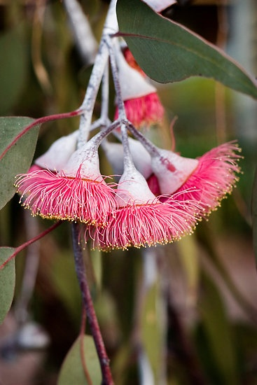 Flowering Silver Princess eucalyptus