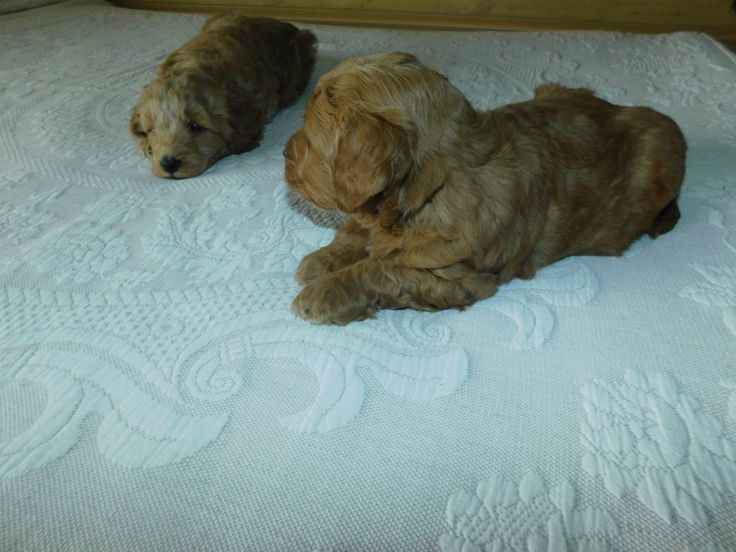Goldendoodle Puppies Under $1000 In Michigan Ideas