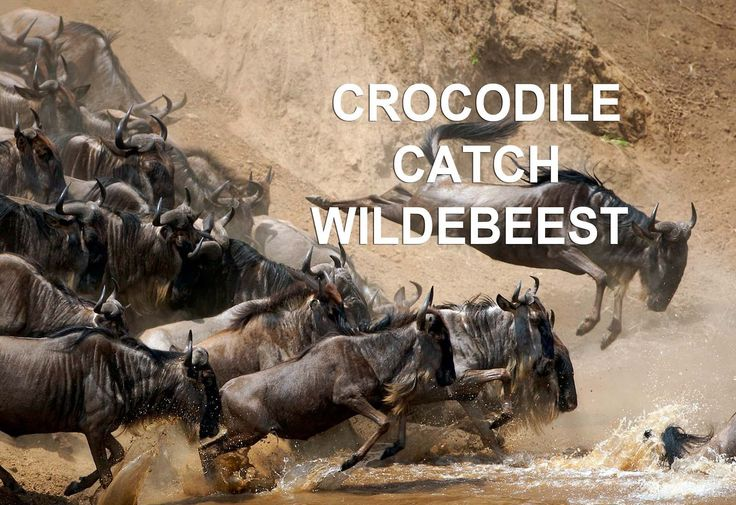 Nile Crocodile catch Wildebeest [CAUGHT IN THE ACT]. Amazing footage!