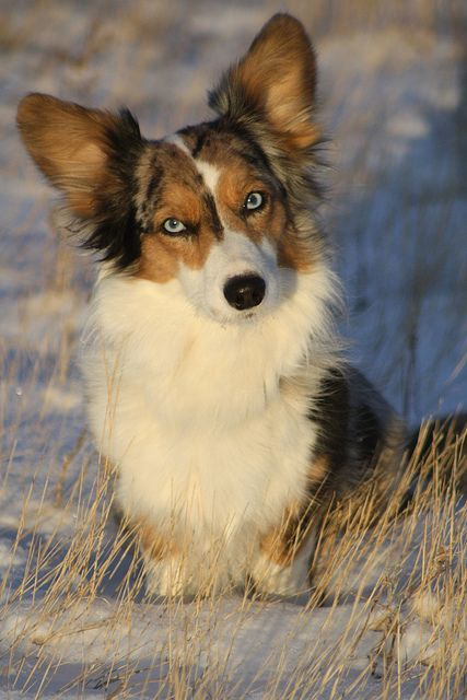 Blue Merle Cardigan Welsh Corgi with Blue eyes