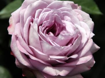 69 best images about garden rose cut flowers on pinterest pink garden monaco and tea roses - Rose cultivars garden ...