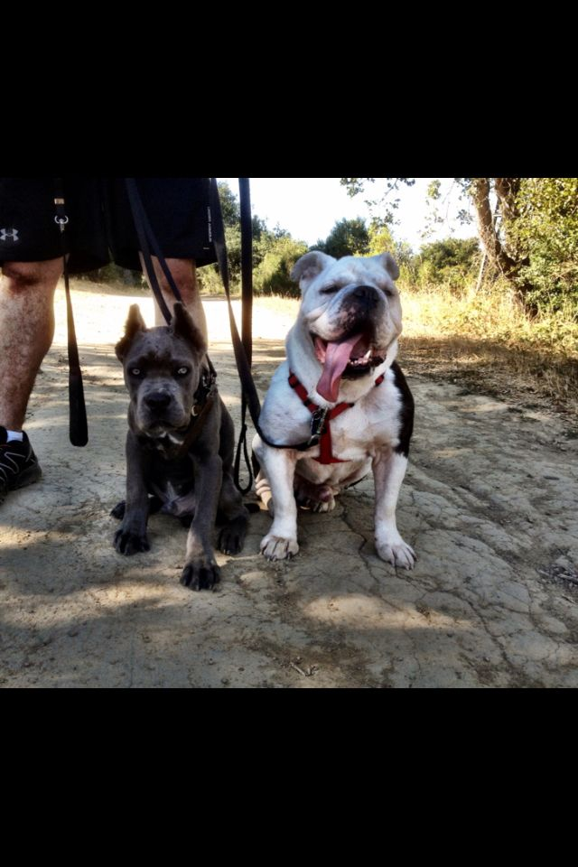 Cane Corso Loki and his big brother, Olde English Bulldogge Draco trail hiking