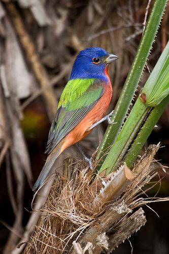 Male Painted Bunting at Okeheelee    Male Painted Bunting at Okeheelee Nature Center (Passerina ciris) West Palm Beach, Floirda