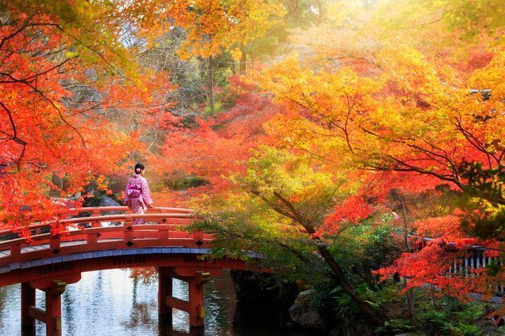 Le foglie a punta dell'acero giapponese risplendono di una nuance rosso scuro. Passeggiare tra i templi del Giappone è un'esperienza unica, soprattutto durante i mesi d'ottobre e novembre.