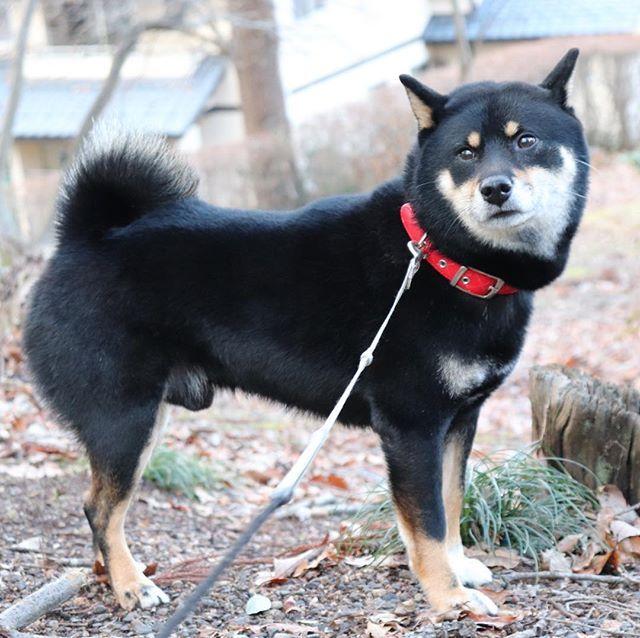#愛犬 #ごんた #柴犬 #黒柴犬  #公園 #可愛い