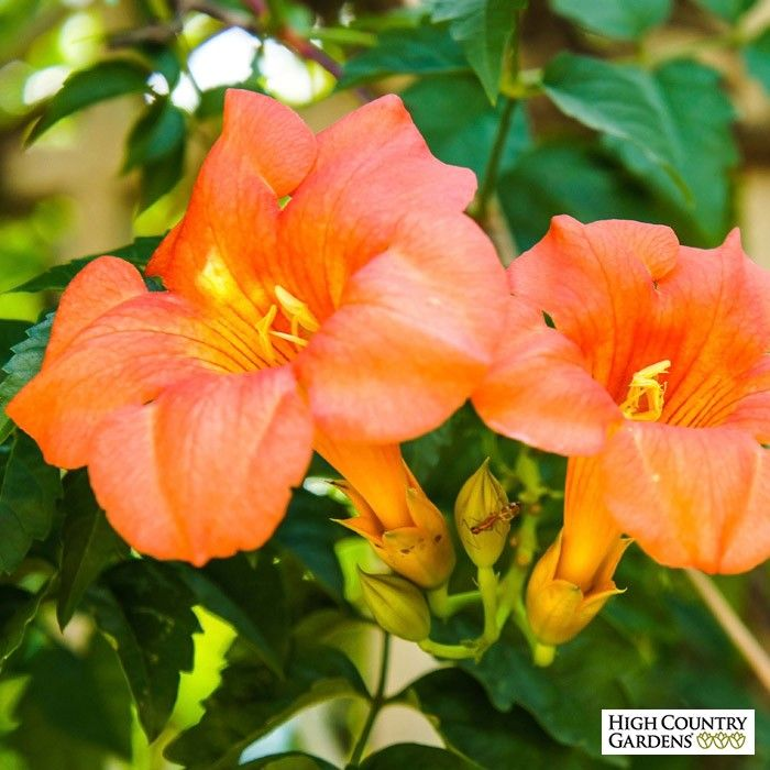 20-25 feet x 4-5 feeet wide. Campsis grandiflora 'Morning Calm' is a very showy Chinese trumpet vine variety that blooms in early summer with a profuse display of huge, peach-colored trumpets with yellow throats.