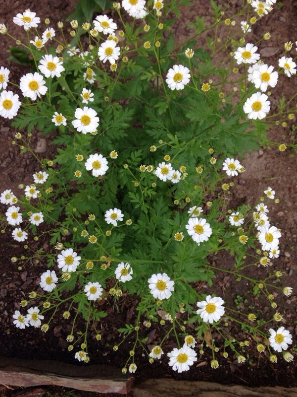 Feverfew Tancetum Parthenium This Appears To Be Feverfew An Aromatic Herb With Pretty Daisy Like Flowers Feverfew Grows Be Feverfew Aromatic Herbs Garden