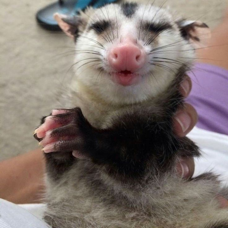Happy Opossum Animals 1 You Must Love Opossums