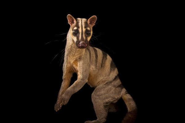 A banded palm civet from the Cincinnati Zoo, the last of its kind in a North American zoo.