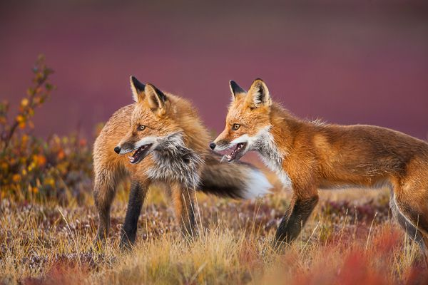 All smiles are found on these two red tail foxes as they take a break from a playful game of marco-polo in the tundra foliage. Photo © copyright by Lance Carter. #photography #fineart #newrelease