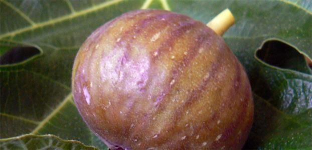 Fig  Blue Provence