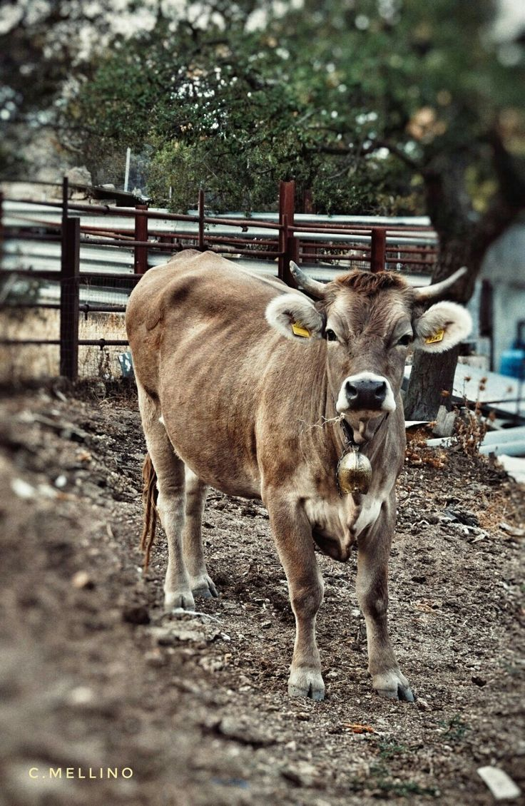 31 best cattle images on pinterest mini farm farm animals and