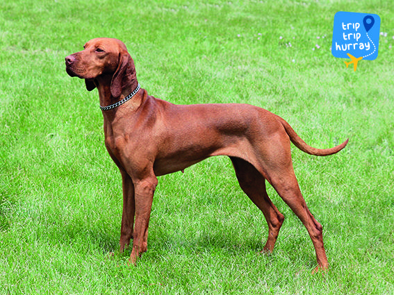 That of a medium-sized, short-coated, hunting dog of distinguished appearance and bearing. Robust but rather lightly built, the coat is an attractive shaded golden rust. Originating in Hungary, the Vizsla was bred to work in field, forest and water. Agile and energetic, this is a versatile dog of power, drive and endurancein the field yet a tractable and affectionate companion in the home.   More Info: http://www.akc.org/dog-breeds/vizsla/   Rescue: http://www.newhopevizslarescue.org