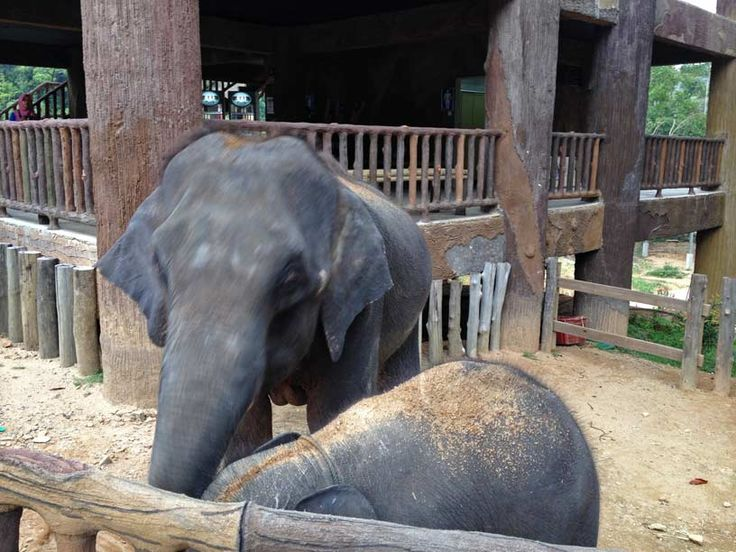 Kenyir Elephant Village, present (Oct. 2014) only a few elephants live here. 3 adults and 2 children.