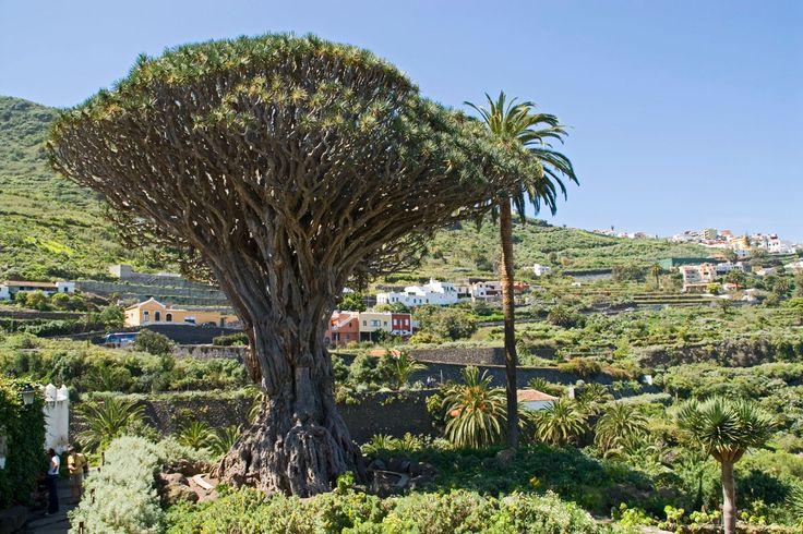 El Drago Milenario (Tenerife)