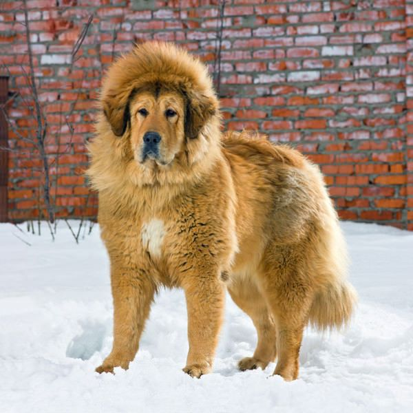 """Tibetan Mastiff ($2,200 to $7,000) The massive Tibetan Mastiff displays a """"noble bearing"""" and a royal price tag to go with it. It is an aloof and watchful breed, with an immense double coat and a kind expression. But the breed's dignified personality can also translate into a reluctance to participate in organized activities like obedience. The 10 Most Expensive Dog Breeds 
