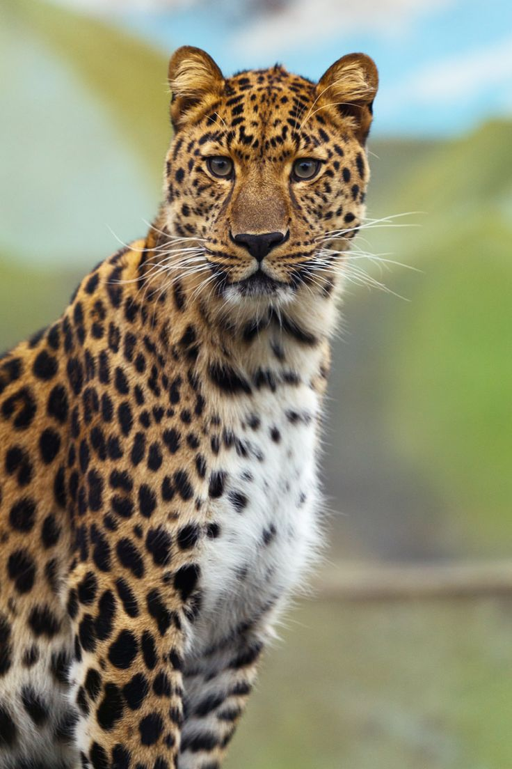 145 best leopards images on pinterest leopards big cats and animals