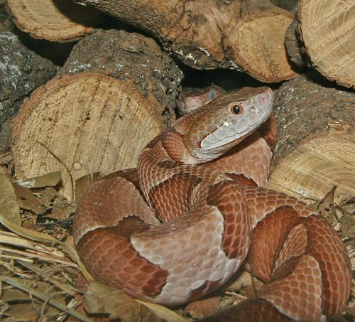 Snake Bites From Copperheads | Decapitated Copperhead Bites and Bites and Bites Own Body Video