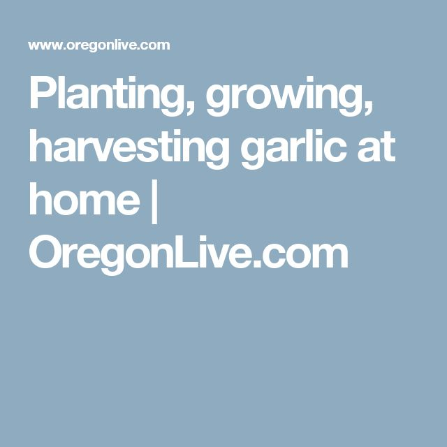 Planting, growing, harvesting garlic at home |       OregonLive.com