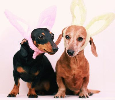 Easter Dachshunds