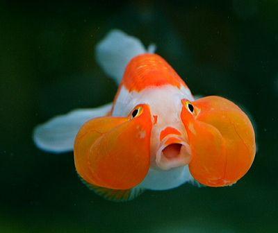 All sizes   Bubble-eyed Goldfish, via Flickr.